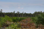 New oil palm plantation established on peatland outside Palangkaraya [kalteng_0051]