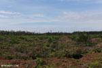New oil palm plantation established on peatland outside Palangkaraya [kalteng_0058]