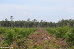 New oil palm plantation established on peatland outside Palangkaraya [kalteng_0062]
