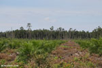 New oil palm plantation established on peatland outside Palangkaraya [kalteng_0063]
