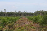 New oil palm plantation established on peatland outside Palangkaraya [kalteng_0065]