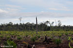 New oil palm plantation established on peatland outside Palangkaraya [kalteng_0070]