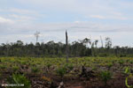 New oil palm plantation established on peatland outside Palangkaraya [kalteng_0071]