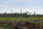 New oil palm plantation established on peatland outside Palangkaraya [kalteng_0073]