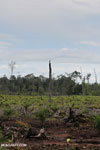 New oil palm plantation established on peatland outside Palangkaraya [kalteng_0075]