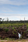 New oil palm plantation established on peatland outside Palangkaraya [kalteng_0076]