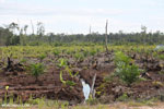 New oil palm plantation established on peatland outside Palangkaraya [kalteng_0077]