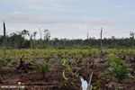 New oil palm plantation established on peatland outside Palangkaraya [kalteng_0078]