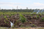 New oil palm plantation established on peatland outside Palangkaraya [kalteng_0080]