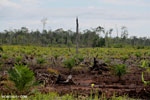 New oil palm plantation established on peatland outside Palangkaraya [kalteng_0082]