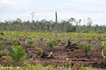 New oil palm plantation established on peatland outside Palangkaraya [kalteng_0083]