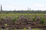 New oil palm plantation established on peatland outside Palangkaraya [kalteng_0087]