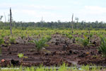 New oil palm plantation established on peatland outside Palangkaraya [kalteng_0089]