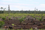 New oil palm plantation established on peatland outside Palangkaraya [kalteng_0090]