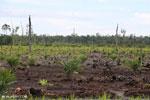 New oil palm plantation established on peatland outside Palangkaraya [kalteng_0090]