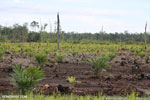 New oil palm plantation established on peatland outside Palangkaraya [kalteng_0091]