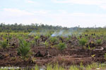 New oil palm plantation established on peatland outside Palangkaraya [kalteng_0092]