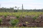 New oil palm plantation established on peatland outside Palangkaraya [kalteng_0094]