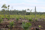 New oil palm plantation established on peatland outside Palangkaraya [kalteng_0095]