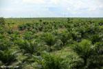 New oil palm plantation established on peatland outside Palangkaraya [kalteng_0098]