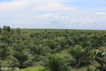 New oil palm plantation established on peatland outside Palangkaraya [kalteng_0099]