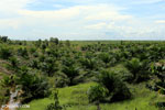 New oil palm plantation established on peatland outside Palangkaraya [kalteng_0102]