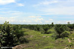 New oil palm plantation established on peatland outside Palangkaraya [kalteng_0105]