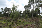 Slash-and-burn agriculture in Borneo [kalteng_0129]
