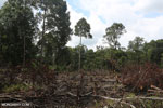 Slash-and-burn agriculture in Borneo [kalteng_0143]