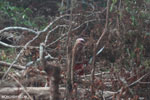 Farmer clearing peat forest in Indonesian Borneo