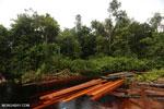 Illegal logging in Borneo [kalteng_0289]