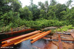 Illegal logging in Borneo [kalteng_0290]