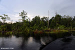 Peat forest in Borneo [kalteng_0310]
