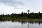 Borneo peat forest