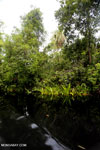 Borneo peat swamp [kalteng_0368]