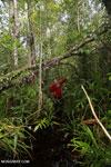 Navigating Borneo's peat swamp [kalteng_0372]