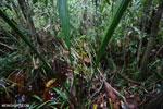 Borneo peatlands