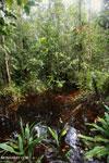 Borneo peat swamp [kalteng_0394]
