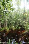 Borneo peat swamp [kalteng_0396]