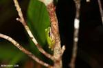 Hylarana raniceps frog in an Indonesian peatland [kalteng_0401]