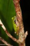 Hylarana raniceps frog in an Indonesian peat swamp