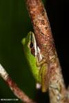 Hylarana raniceps frog in Kalteng [kalteng_0403]