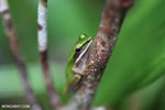 Hylarana raniceps frog [kalteng_0409]