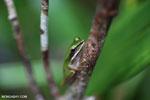 Hylarana raniceps frog [kalteng_0410]
