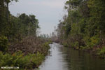 Canal in the Borneo peat forest [kalteng_0461]