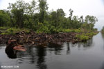 Canal built by the government of Central Kalimantan in 2012 to drain the peat forest [kalteng_0478]
