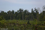 Degraded peatland in Borneo [kalteng_0493]
