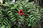 Red fruit [kalteng_0514]