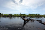 Degraded peatland in Borneo [kalteng_0533]