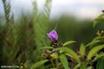 Peatland flower [kalteng_0552]